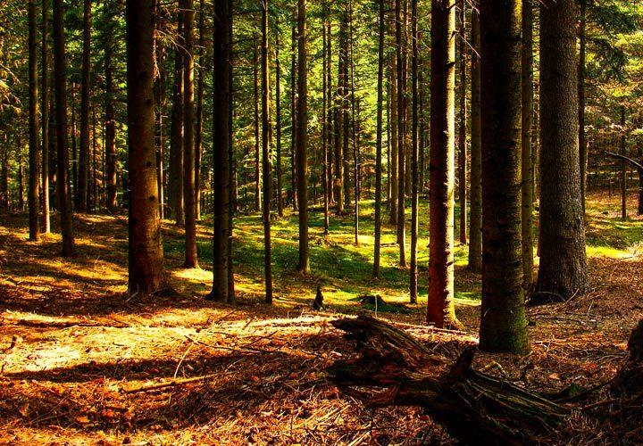 Narol - Bukowy Las